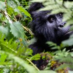 Uganda. Tour of the primates